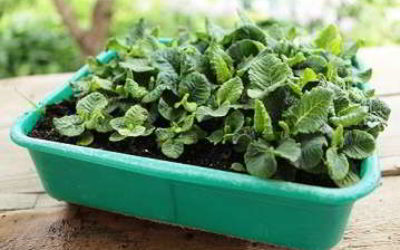 Примула: выращивание из семян в домашних условиях, как и когда сеять