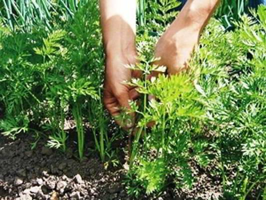 морковь посадка и уход в открытом грунте