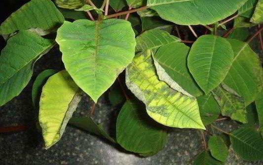 желтеют листья у пуансетии