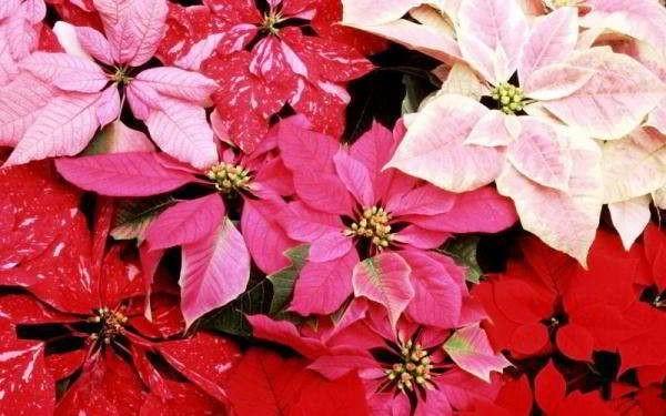 пуансетия уход в домашних условиях опадают листья