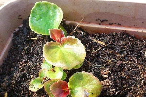 выращивание бегонии из семян
