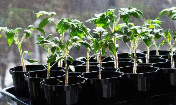 rassada-pomidor-v-podmoskove