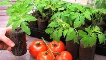 Как вырастить крепкую и здоровую рассаду помидор в домашних условиях