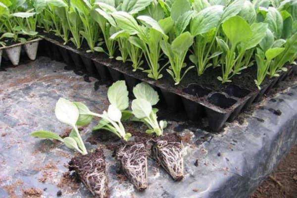 цветная капуста выращивание и уход в открытом грунте фото