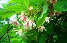 Быстрорастущие вьющиеся растения для забора