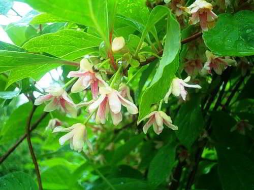 rasteniya-vyushhiesya Вьющиеся растения для забора быстрорастущие