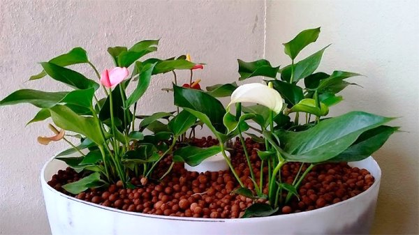 антуриум размножение в домашних условиях