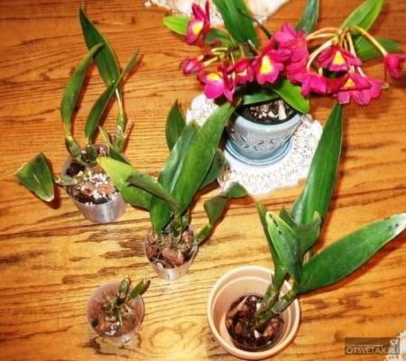 как размножить орхидею в домашних условиях с фото