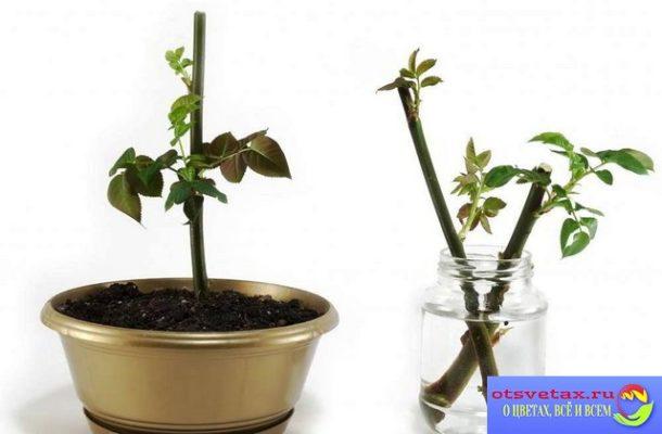 размножение растений черенками стеблевыми