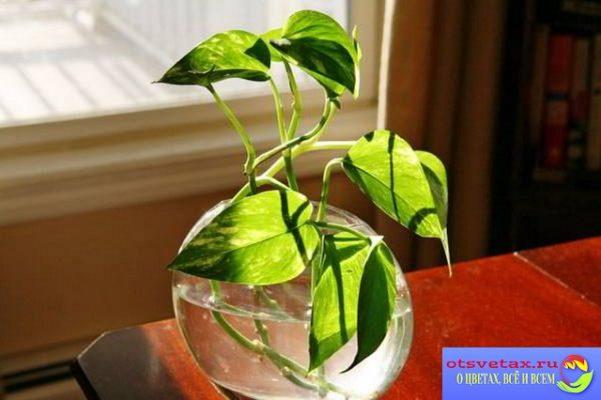 размножение растений черенками в воде