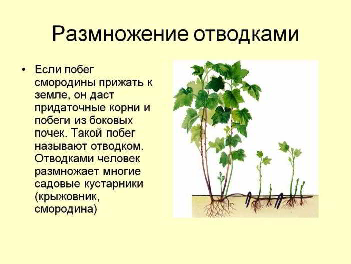 размножение растения отводками