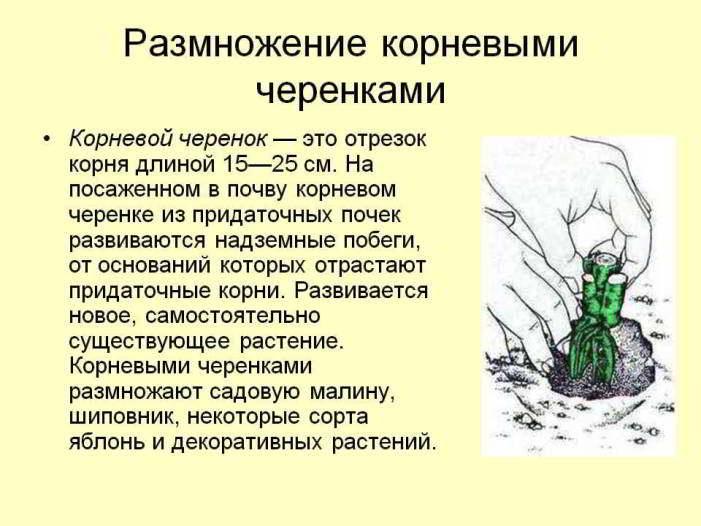 размножение растений частями корня