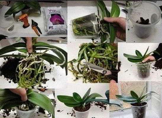 размножение фаленопсиса