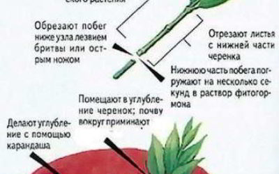 Как размножить растения черенками