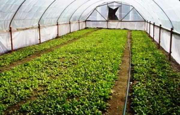 выращивание редиски в теплице
