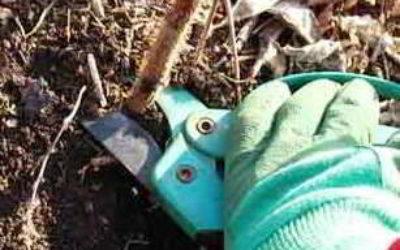 Когда и как правильно обрезать осенью ремонтантную малину