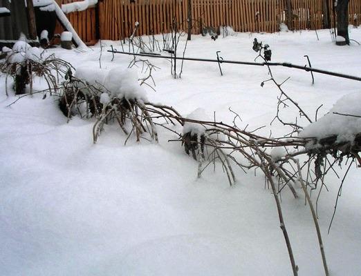 ремонтантная малина осенью на зиму