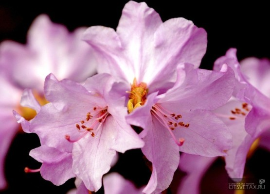 рододендрон садовый посадка и уход фото