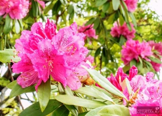 рододендрон садовый посадка и уход фото на урале