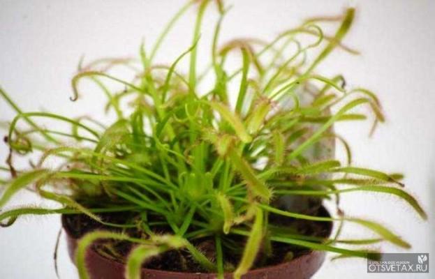 хищные растения росянка