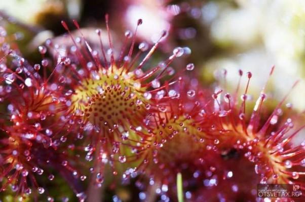 хищное растение росянка круглолистная