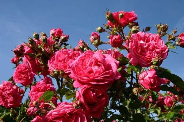 посадка роз осенью с котрытой корневой системой видео