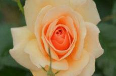 Правила посадки роз осенью с открытой и закрытой корневыми системами