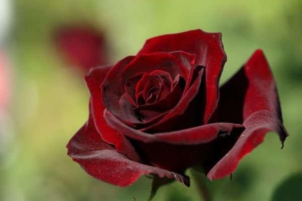 посадка саженцев роз осенью с открытой корневой осенью
