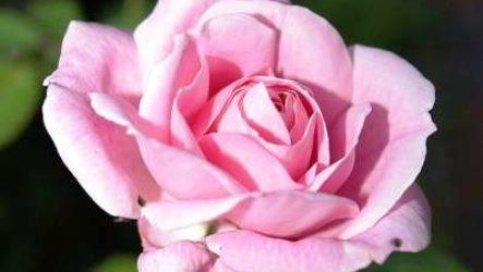Правильный уход за розой в горшке в домашних условиях