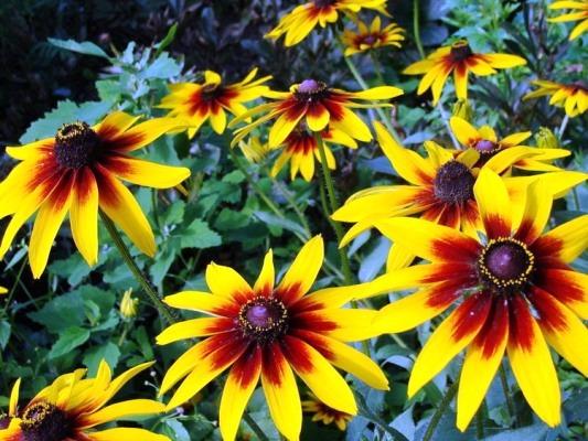 многолетние цветы цветущие все лето названия