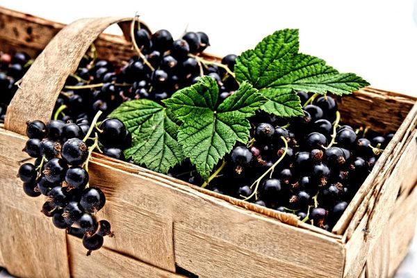 посадка кустов черной смородины осенью