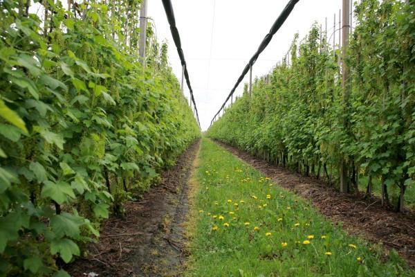 схема посадки черной смородины осенью