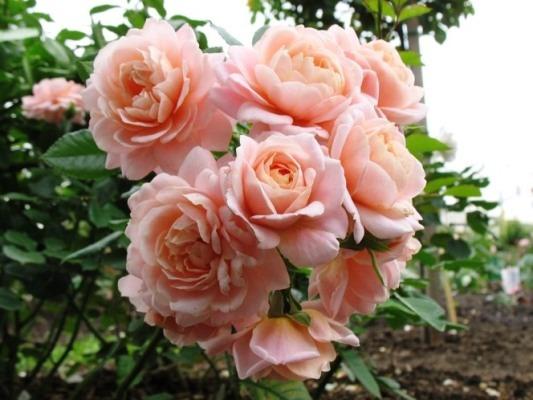 многолетние цветы цветущие название неприхотливые