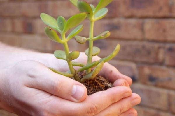 денежное дерево как посадить отросток правильно