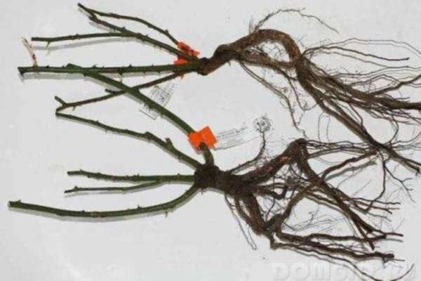 розы с открытой корневой системой посадка осенью сроки посадки