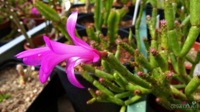 декабрист цветок уход в домашних условиях болезни лечение