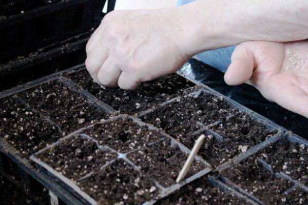 томаты посев семян