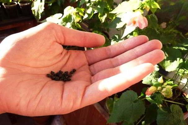 семена абутилона