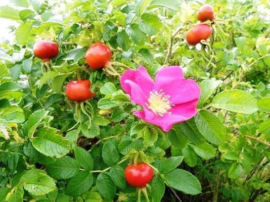 садовые кустарники фото +и названия многолетние