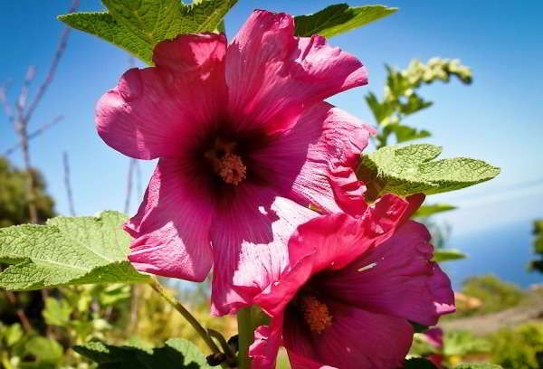 шток роза выращивание из семян