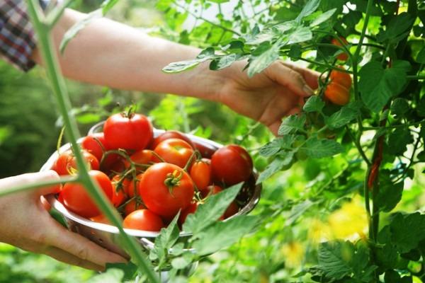 сибирский скороспелый томат описание сорта