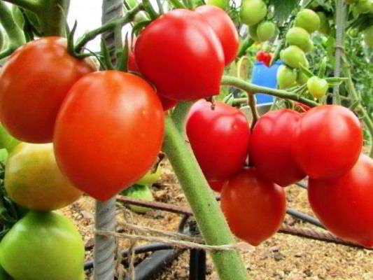 помидоры для теплицы из поликарбоната