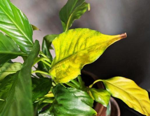 спатифиллум почему желтеют листья