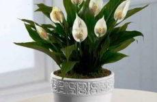Спатифиллум: правила пересадки цветка в домашних условиях и уход