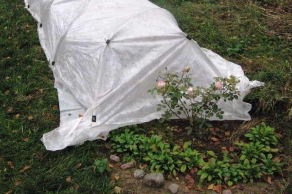 укрытие плетистых роз на зиму в подмосковье видео