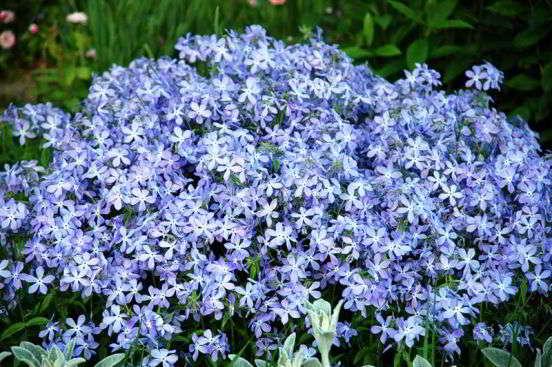 самые ранние весенние цветы название и фото