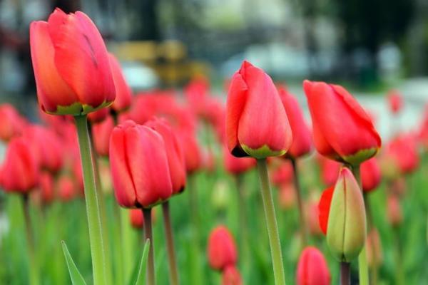 как посадить осенью тюльпаны в грунт правильно