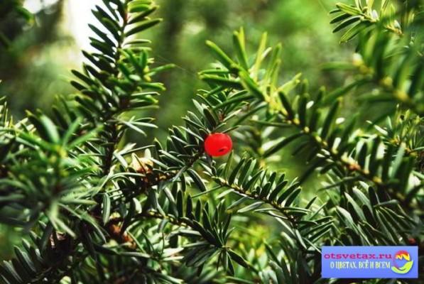 хвойные растения для сада фото и названия в сибири