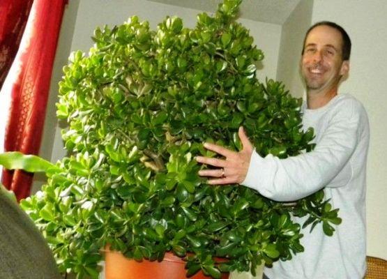 толстянка денежное дерево уход