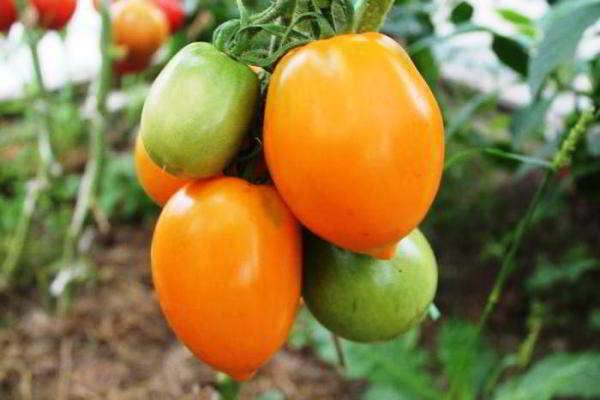 помидоры для теплицы из поликарбоната сорта лучшие